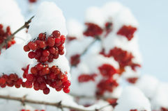 Vinter fryst viburnum Arkivbild