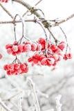 Vinter fryst Viburnum under snö första snow arkivfoton