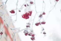 Vinter fryste trädfilialer Royaltyfri Bild
