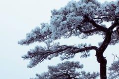 Vinter Huangshan - frysa Tree Arkivfoto