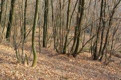 Vinter i en skog med kala sidav?xter arkivbild