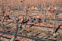 Vinter i kaliforniska vingårdar arkivfoton