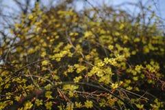 vinter jasmine6 Fotografering för Bildbyråer
