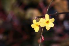 vinter jasmine6 Royaltyfria Bilder