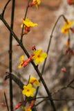vinter jasmine6 Arkivbild