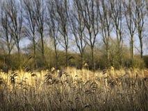 Vinter Reed Bed floden stora Ouse Royaltyfri Fotografi