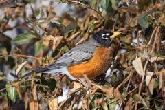 Vinter Robin Fotografering för Bildbyråer