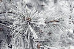 Vinter: sörja i frost Arkivbild