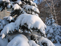 Vinter. Snö-korkat granris Arkivbild