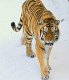 Vinter som går den Siberian tigern Arkivfoto