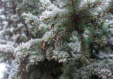 Vinter som glaseras på spruce jultreenärbild Royaltyfri Bild