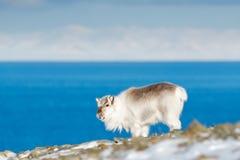 Vinter Svalbard Lös ren, Rangifertarandus, med massiva horn på kronhjort i snö, Svalbard, Norge Svalbard hjortar på det steniga b arkivfoto