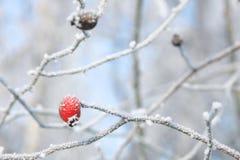 Vinterbär som hänger från frostade filialer Arkivbilder