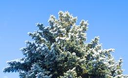 Vinterbakgrund - frostiga filialer av trädet på bakgrunden av den blåa himlen Slut upp av snö täckte filialer Arkivbilder