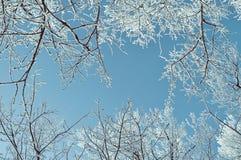 Vinterbakgrund - frostiga vinterträdfilialer mot blå himmel för ligganderussia för 33c januari ural vinter temperatur Royaltyfri Foto