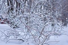 Vinterbakgrund med en frostig buske fotografering för bildbyråer