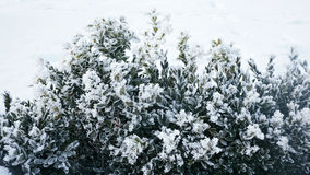 Vinterbakgrund med frostig buxbom arkivbild