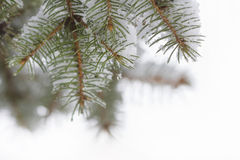 Vinterbakgrund med granfilialer Royaltyfria Bilder