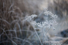 Vinterbakgrund med neutrala färger av en djupfryst växt Arkivbild