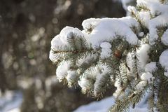 Vinterbakgrund med soliga filialer för gran Royaltyfri Foto