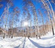 Vinterbirchwood Arkivfoto