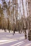 Vinterbjörkträ Arkivfoto