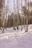 Vinterbjörkträ Royaltyfri Foto