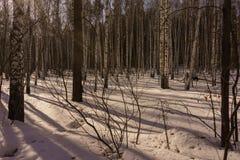 Vinterbjörkträ Royaltyfria Bilder
