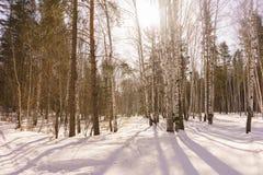 Vinterbjörkträ Fotografering för Bildbyråer