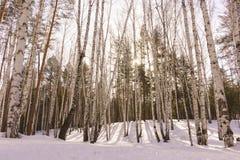 Vinterbjörkträ Arkivbilder