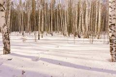 Vinterbjörkträ Arkivbild