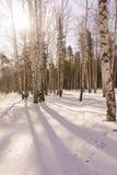Vinterbjörkträ Royaltyfri Bild