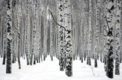 Vinterbjörkträd Fotografering för Bildbyråer