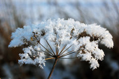 vinterblomma Royaltyfria Foton