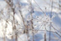 Vinterblomma med iskristaller Arkivbilder