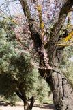 Vinterblomningmandel i blommor royaltyfria foton