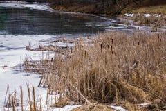 VinterCattails vid en djupfryst sjö Arkivfoto
