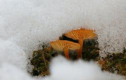 Vinterchampinjoner under mjuk snö royaltyfria bilder