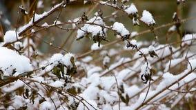 Vinterdag, snö på stammarna av nässlan, suddig bakgrund lager videofilmer