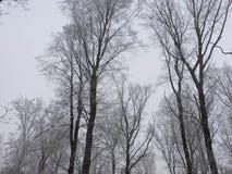 Vinterdimma i en skog med högväxta träd i Tyskland fotografering för bildbyråer