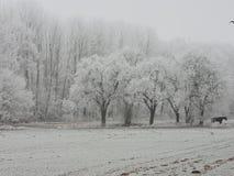 Vinterdimma i en skog med högväxta träd i Tyskland Dagg som glaseras på trät under en kall helg royaltyfri foto