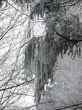 Vinterdimma i en skog med högväxta träd i Tyskland Dagg som glaseras på trät under en kall helg royaltyfria foton