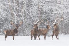 Vinterdjurlivlandskap med Cervuselaphus för fyra nobel hjortar Flock av dentäckte fullvuxna hankronhjorten för röda hjortar Fullv royaltyfri fotografi