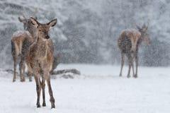Vinterdjurlivlandskap med den lilla flocken av den nobla hjortCervuselaphusen Doehjortar under snöfall Vinterdjurlivlandskap med arkivbilder