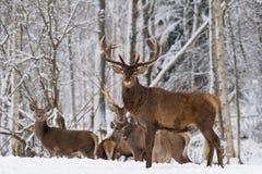 Vinterdjurlivlandskap med den stora vuxna fullvuxen hankronhjortcervusen Elaphus för röda hjortar på Backround av vinterbjörken F fotografering för bildbyråer