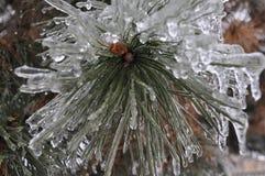 Vinterevergreen Fotografering för Bildbyråer