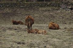 Vinterfält med nötkreatur Fotografering för Bildbyråer