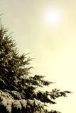 Vinterfilialer av blått sörjer trädet som täckas med fluffig snö Arkivfoto