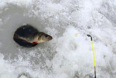 Vinterfiske efter perch Fotografering för Bildbyråer