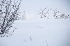 Vinterfjällripa Fotografering för Bildbyråer